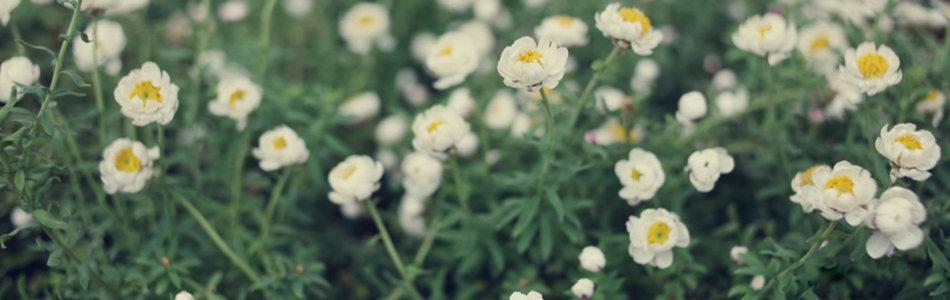 唯美白色花朵海报背景