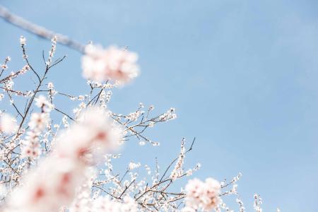春天桃花背景