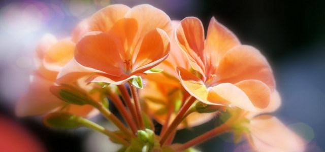 鲜花摄影背景