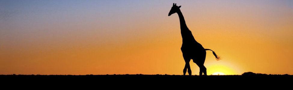 夕阳长颈鹿banner创意设计