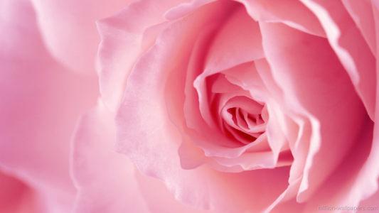 粉色的花背景高清背景图片素材下载
