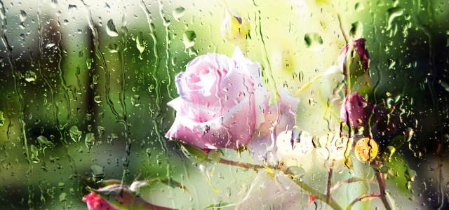 水珠玫瑰花朵背景