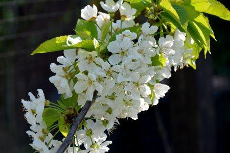 白色樱花高清背景图片素材下载